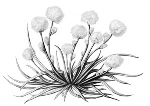 Die Tuundra - hier zieht sich selbst das Gras warm an. Wollgras von Janina Robben.